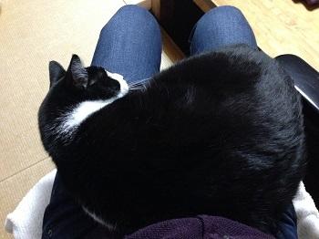 350膝からはみだしている猫.jpg
