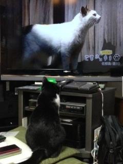 岩合光昭 白猫.JPG